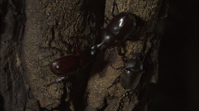Battle Between Japanese Rhinoceros Beetles
