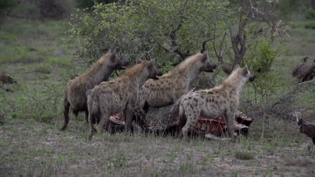 battle for buffalo carcass between spotted hyenas and vultures, kruger national park, south africa - group of objects stock videos & royalty-free footage