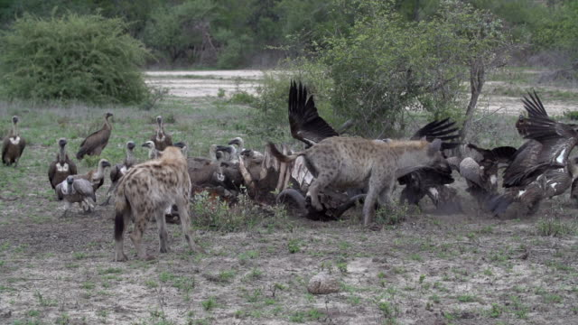 Battle for buffalo carcass between Spotted hyenas and vultures, Kruger National Park, South Africa
