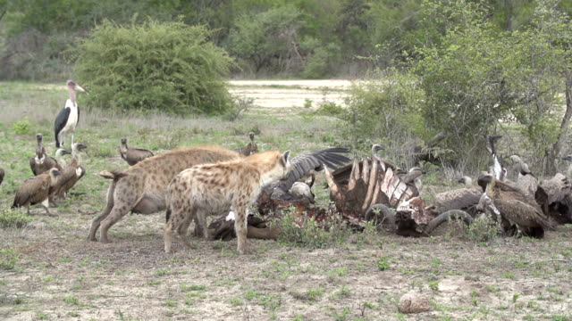 battle for buffalo carcass between spotted hyenas and vultures, kruger national park, south africa - group of animals stock videos & royalty-free footage