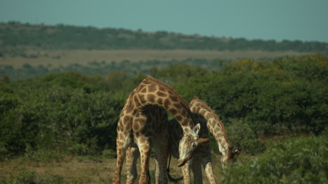battling giraffes in slow motion - south africa - bull animal stock videos & royalty-free footage