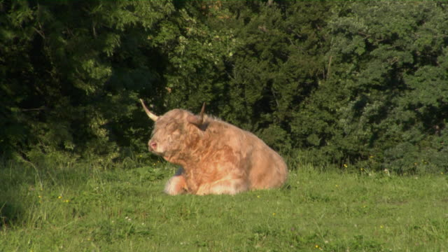 ws bavarian bull lying on meadow, bavaria, germany - bulle männliches tier stock-videos und b-roll-filmmaterial