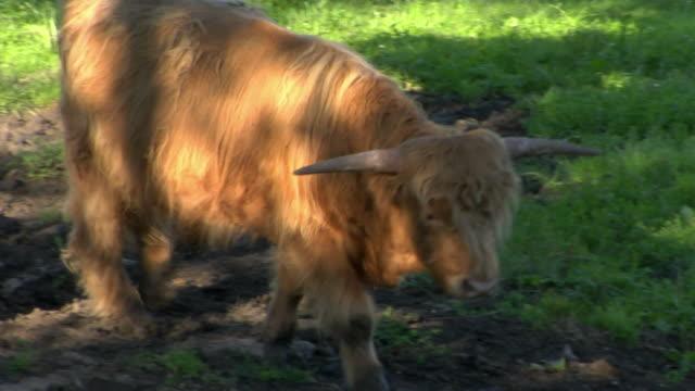 ms pan bavarian bull walking on meadow, bavaria, germany - bull animal stock videos & royalty-free footage