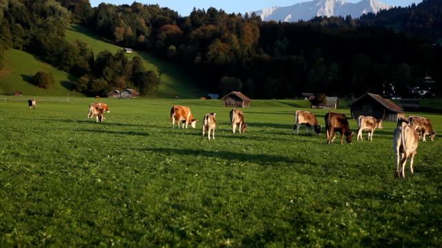 bayerische landschaft - rind stock-videos und b-roll-filmmaterial