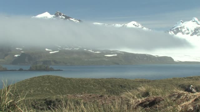 ws, pan, bay and snowy mountains covered with fog, southern giant petrel (macronectes giganteus) on nest, south georgia island, falkland islands, british overseas territory - insel south georgia island stock-videos und b-roll-filmmaterial