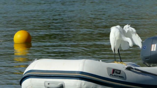 vidéos et rushes de bay of puerto pollenca, mallorca, balearic islands, spain, mediterranean, europe - se lisser les plumes