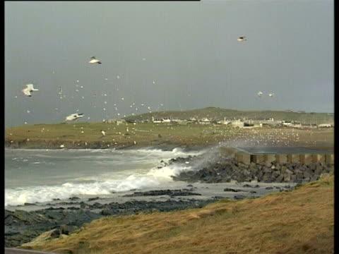 bay with large waves breaking against rocks and flock of gulls circle, braer oil tanker spill shetland islands, uk, 1993. - vik vatten bildbanksvideor och videomaterial från bakom kulisserna