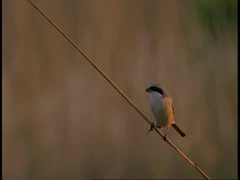 cu baybacked shrike, lanius vittatus, sitting on branch eating insect, bandhavgarh national park, india - national icon stock videos & royalty-free footage