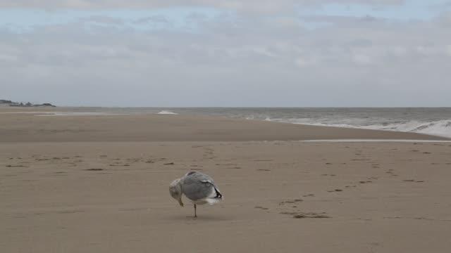 beach at cape may with seagull - auf einem bein stock-videos und b-roll-filmmaterial