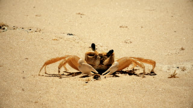 beach crab close up cleaning eyes and walking - crab stock videos & royalty-free footage