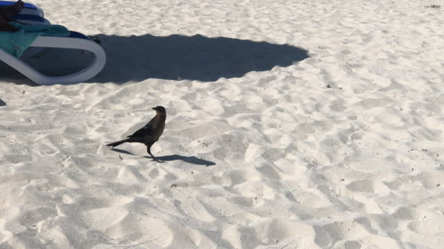 Beach crow, looking for food