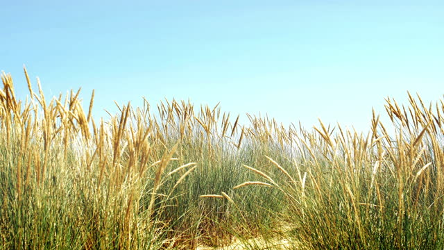 beach grass blowing gently in the breeze. - reed grass family stock videos & royalty-free footage