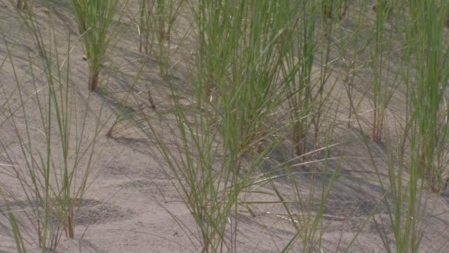 beach grass blowing in the wind - オオハマガヤ属点の映像素材/bロール
