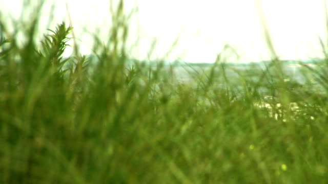 beach grass near the ocean - rack focus - reed grass family stock videos and b-roll footage