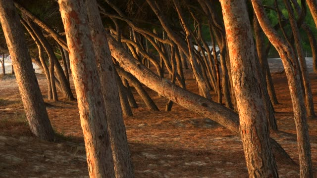 vídeos y material grabado en eventos de stock de beach of playa de muro with pine trees in the morning, majorca, balearic islands, spain, mediterranean, europe - cultura mediterránea