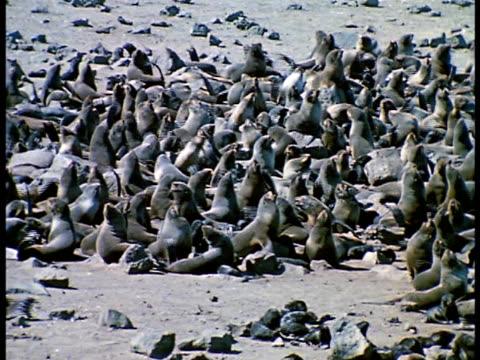 vídeos de stock e filmes b-roll de beach rookery full of fur seals beach, seals fanning themselves w/ flippers. - encostado