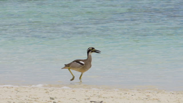 beach thick-knee running right along the coastline, high speed - south pacific ocean stock videos & royalty-free footage