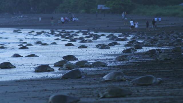 WS beach with massed female Olive Ridley turtles in surf and people in background in dawn light