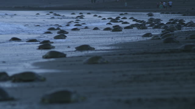 ws beach with massed female olive ridley turtles in surf and people in background in dawn light - large group of animals stock videos and b-roll footage