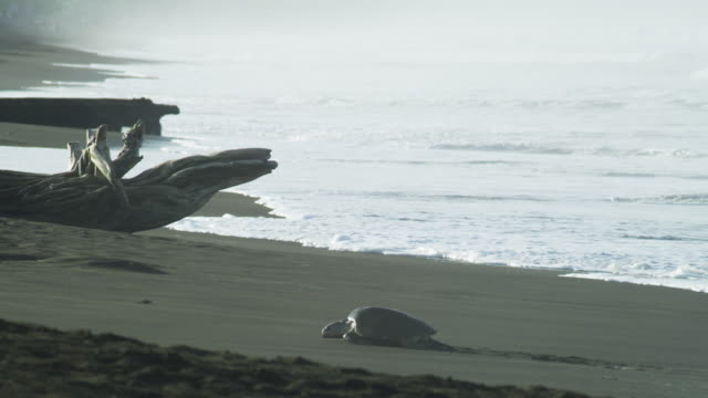 stockvideo's en b-roll-footage met ws beach with waves and lone female olive ridley turtle crawling up beach in profile  - drijfhout