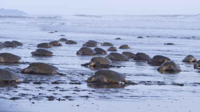 WS beach with waves with massed female Olive Ridley turtles crawling to and from surf