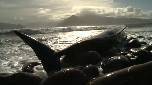 a beached false killer whale struggles against rocks while beached in shallow surf. available in hd. - false killer whale stock videos & royalty-free footage