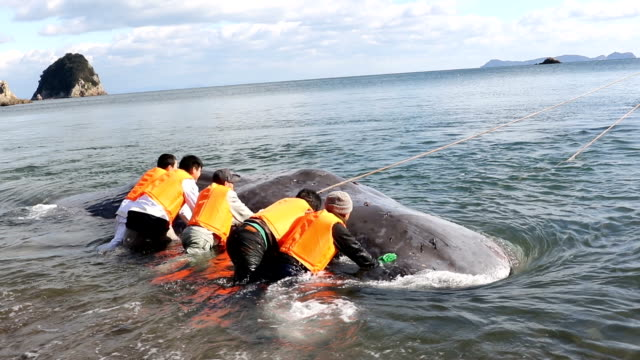 beached sperm whale was dragged back into deep water by a fishing boat in a dramatic rescue along the coast on january 20, 2016 in anan, japan. at... - gestrandet stock-videos und b-roll-filmmaterial