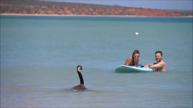 beachgoers had the most australian experience near shark bay, western australia, when an emu casually swam next to them on january 26, australia day.... - monkey mia点の映像素材/bロール