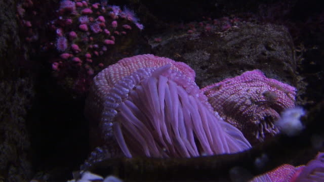 (hd1080i) beaded sea anemone - sea anemone stock videos & royalty-free footage