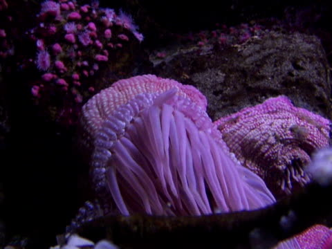 beaded sea anemone - sea anemone stock videos & royalty-free footage
