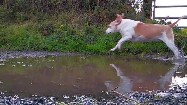 beagle dog running through a puddle on a muddy path.. slow motion video - beagle stock videos & royalty-free footage
