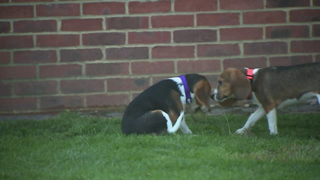 Beagle dogs running around and playing