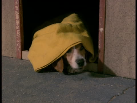 a beagle hides under a blanket. - nascondere video stock e b–roll