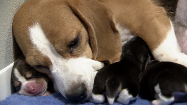 a beagle lies with her puppies. - young animal stock-videos und b-roll-filmmaterial