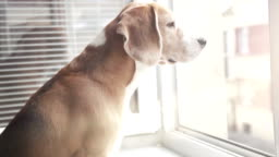 Beagle looks out the window and sniffs the smells coming from the street