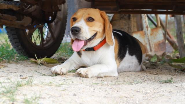 beagle on ground - beagle stock videos & royalty-free footage