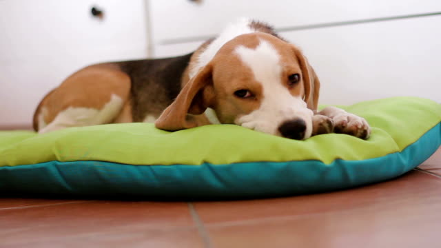 beagle puppy dog falling asleep on his bed - puppy stock videos & royalty-free footage
