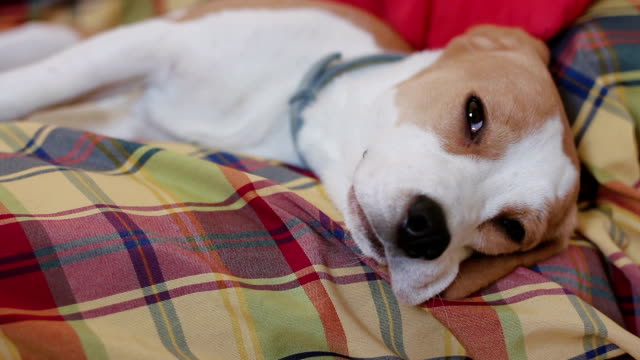 Beagle puppy dog falling asleep on the couch