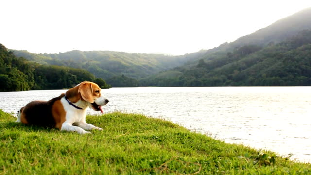 beagle relaxing at the river - dog convertible stock videos & royalty-free footage