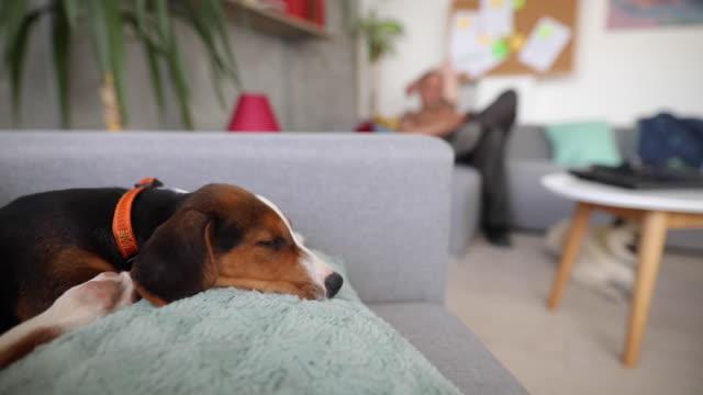 vidéos et rushes de beagle se détendre sur le canapé et essayer de faire une sieste - collier