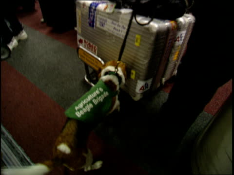 a beagle sniffs suitcases at an airport. - bagaglio video stock e b–roll