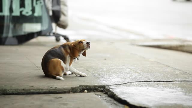 beagle - beagle stock videos & royalty-free footage