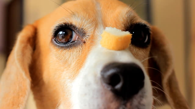beagle waitting - pleading stock videos & royalty-free footage