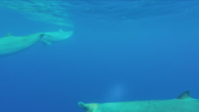 beaked whales swimming underwater - cetacea stock videos & royalty-free footage