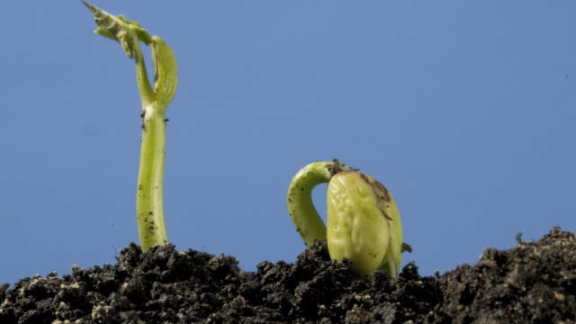 t/l bean epigeal germination from soil, low angle side view, tilt - bean stock videos & royalty-free footage