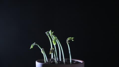 bean plants grow in low light. - bean stock-videos und b-roll-filmmaterial
