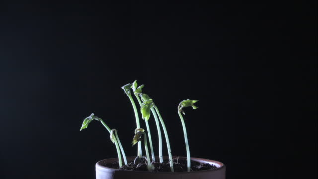 bean plants grow in low light. - bohne stock-videos und b-roll-filmmaterial