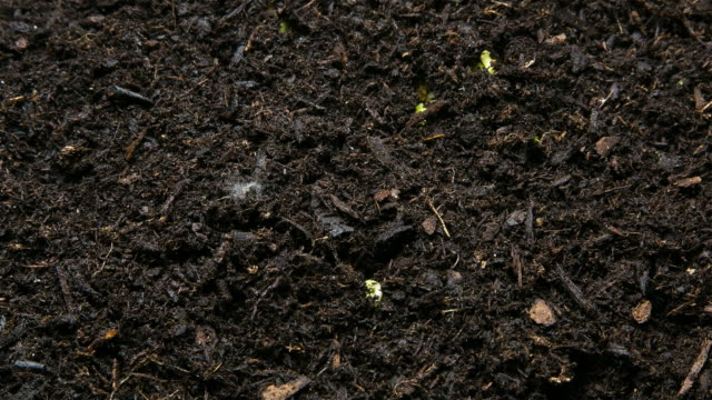 Bean Sprout in time lapse
