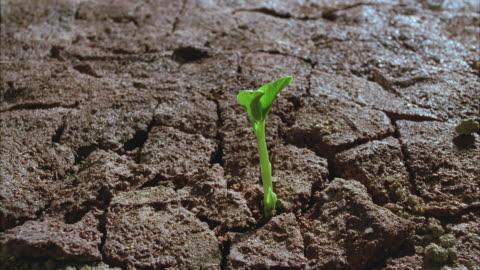 vídeos y material grabado en eventos de stock de t/l, cu, bean sprouting of cracked soil - bean