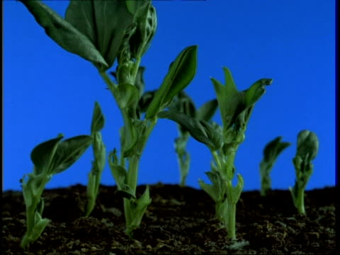 t/l beans germinate and grow from soil, wither and die, side view, blue background - germinating stock videos & royalty-free footage
